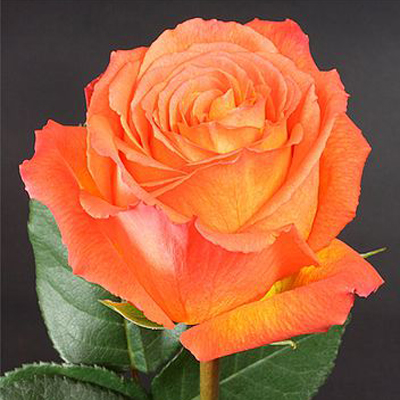 High and Intense Roses Wholesale to the Public, DIY Weddings and Events