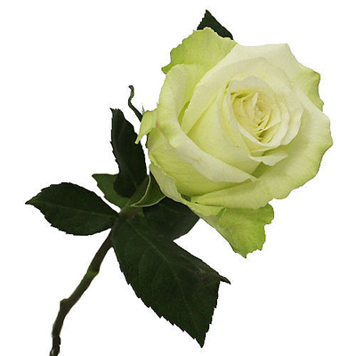 High and Peace Roses Wholesale to the Public, DIY Weddings and Events