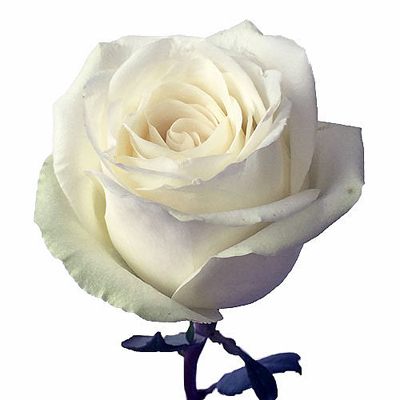 High and Pure Roses Wholesale to the Public, DIY Weddings and Events