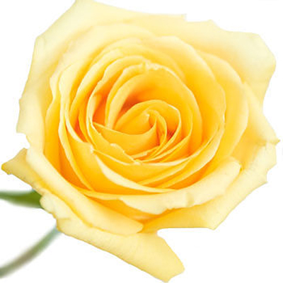 Hummer Roses Wholesale to the Public, DIY Weddings and Events