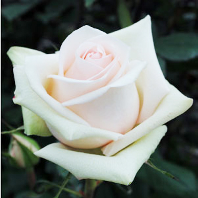 La Perla Roses Wholesale to the Public, DIY Weddings and Events