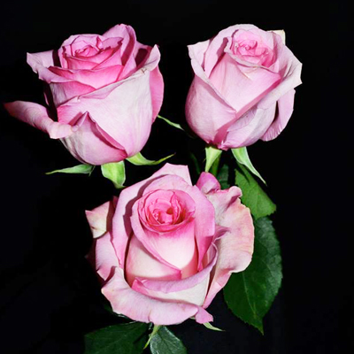 Pavarotti Roses Wholesale to the Public DIY Weddings and Events