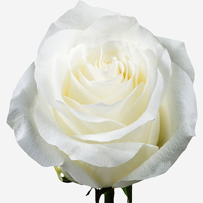 Proud Roses Wholesale to the Public, DIY Weddings and Events