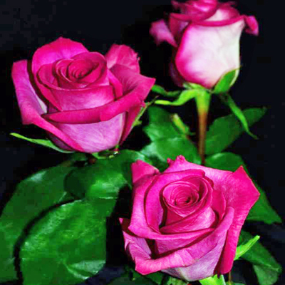 Purple Cezanne Roses Wholesale to the Public, DIY Weddings and Events