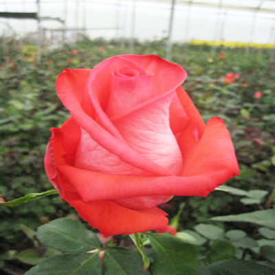Raphaella Roses Wholesale to the Public, DIY Weddings and Events