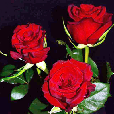 Red Paris Roses Wholesale to the Public, DIY Weddings and Events