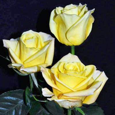 Skyline Roses Wholesale to the Public, DIY Weddings and Events