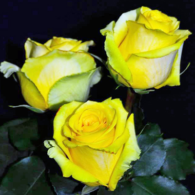 Tara Roses Wholesale to the Public DIY Weddings and Events