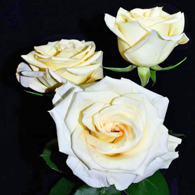 Timeless Roses Wholesale To The Public, DIY Weddings and Events