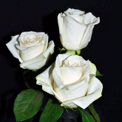Vendella Roses Wholesale To The Public, DIY Weddings and Events