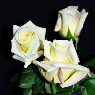 Virginia Roses Wholesale To The Public DIY Weddings and Events
