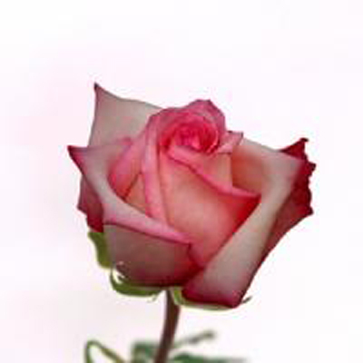 Vouge Roses Wholesale to the Public, DIY Weddings and Events