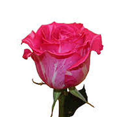 Wild Topaz Roses Wholesale to the Public, DIY Weddings and Events