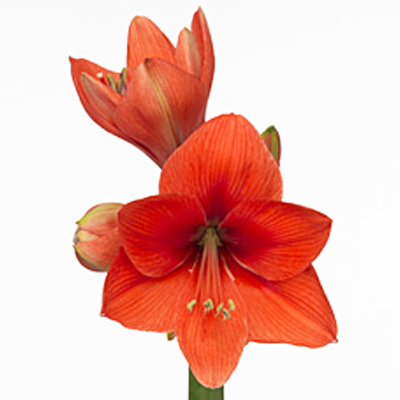 Amaryllis Gold Metal Wholesale to the Public, DIY Weddings and Events