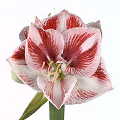Amaryllis Popov Wholesale to the Public, DIY Weddings and Events