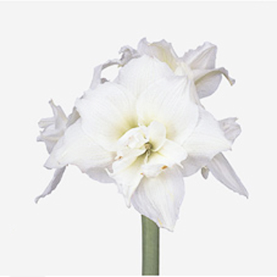 Amaryllis White Nymph Wholesale to the Public, DIY Weddings and Events