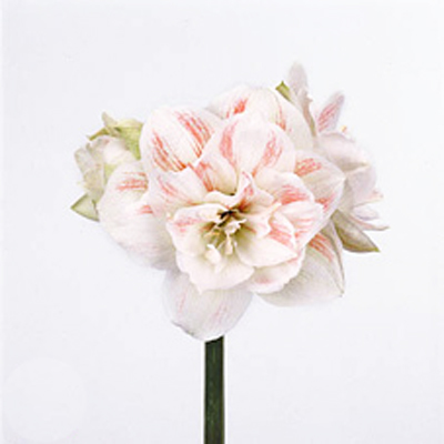 Amaryllis Nymph Wholesale to the Public, DIY Weddings and Events