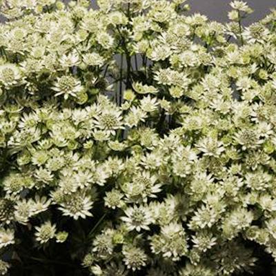 Astrantia Million Star for Weddings, Events and DIY Brides. Wedding Florist in Fairfield, NJ 07004