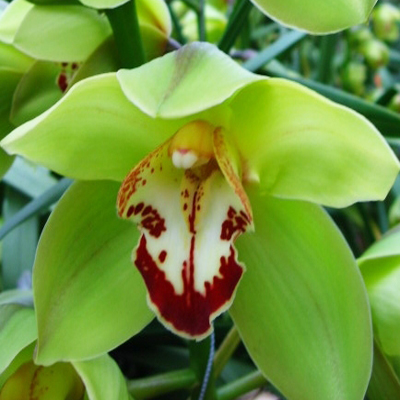 Cymbidium Baltic Harvest Yonina Wholesale Florist Open to the Public, DIY Weddings and Events