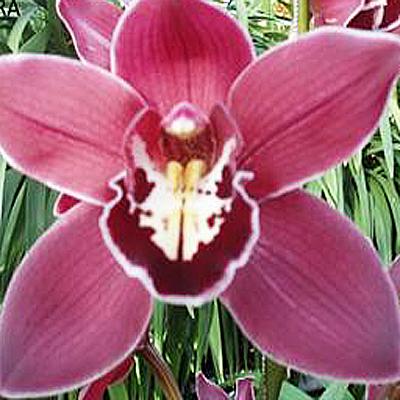 Cymbidium Brera Wholesale Florist Open to the Public, DIY Weddings and Events