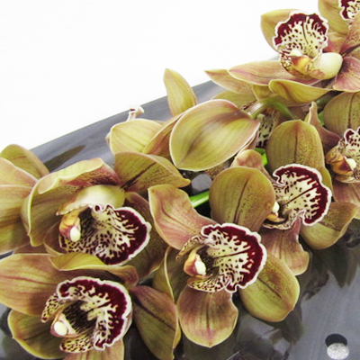 Cymbidium Choco Bear Wholesale Florist Open to the Public, DIY Weddings and Events