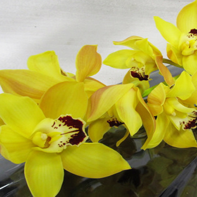 Cymbidium Day Dream Wholesale FLorist Open to the Public, DIY Weddings and Events