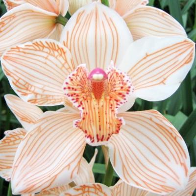 Cymbidium Dyed Orange Wholesale Florist Open to the Public, DIY Weddings and Events