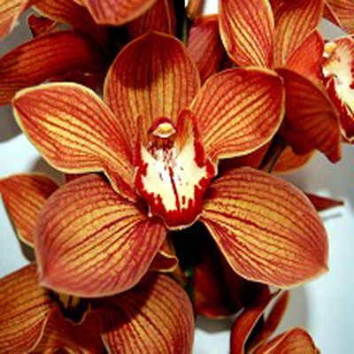 Cymbidium Orange Holland Wholesale Florist Open to the Public, DIY Weddings and Events