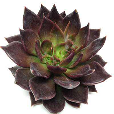 Echeveria Black Prince Wholesale Florist Open to the Public, DIY Weddings and Events