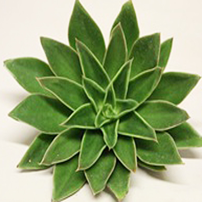 Echeveria Mexicana Wholesale Florist Open to the Public, DIY Weddings and Events