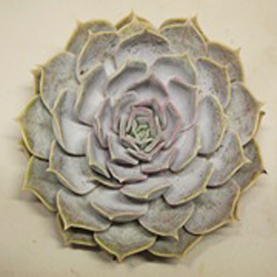 Echeveria Riniony Wholesale Florist Open to the Public, DIY Weddings and Events