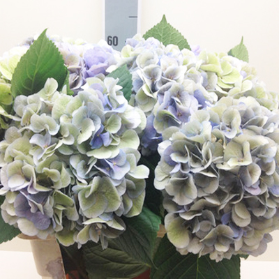 Hydrangea Antique Lavender Wholesale to the Public, DIY Weddings and Events