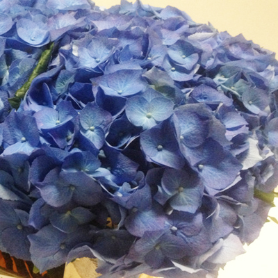 Hydrangea Bella Wholesale to the Public, DIY Weddings and Events