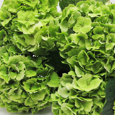 Hydrangea Emerald Wholesale to the Public, DIY Weddings and Events
