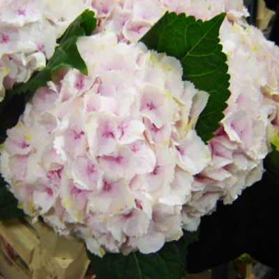 Hydrangea Emerald Pink Wholesale to the Public, DIY Weddings and Events