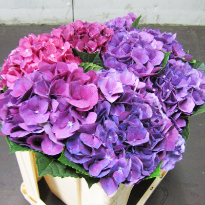 Hydrangea Esmee Purple Wholesale to the Public, DIY Weddings and Events