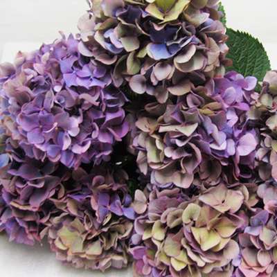 Hydrangea Glowing Alps Antique Purple Wholesale to the Public, DIY Weddings and Events