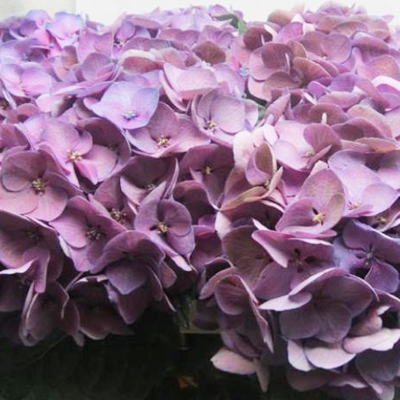 Hydrangea Glowing Alps Purple Wholesale to the Public, DIY Weddings and Events