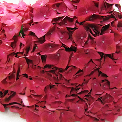 Hydrangea Green Shadow Wholesale to the Public, DIY Weddings and Events