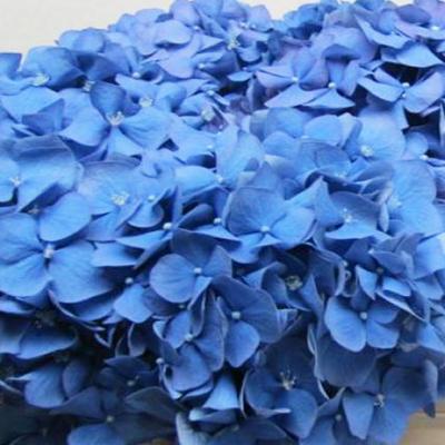 Hydrangea Pimpernel Dark Blue Wholesale Florist to the Public, DIY Weddings and Events