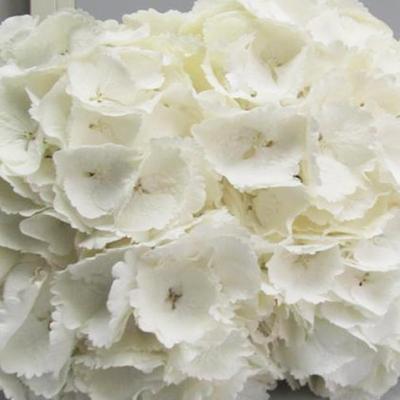 Hydrangea Schneeball Wholesale Florist Open To The Public, DIY Weddings and Events