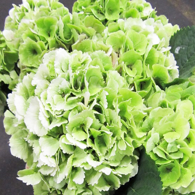 Hydrangea Verena Light Green Wholesale Florist Open to the Public, DIY Weddings and Events