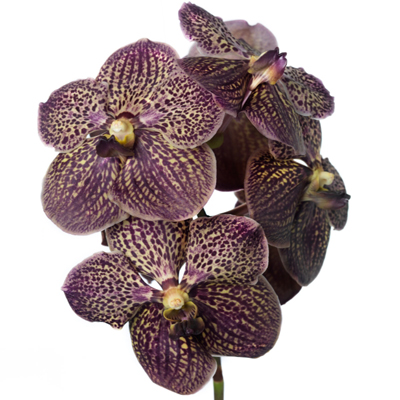 Vanda Chocolate Brown for Weddings, Events and DIY Brides. Wedding Florist in Fairfield, New Jersey 07004