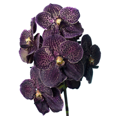 Vanda Dark Chocolate Brown for Weddings, Events and DIY Brides. Wedding Florist in Fairfield New Jersey 07004