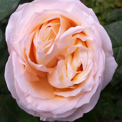 Angie Romantic Garden Roses Wedding Florist in Farifield NJ