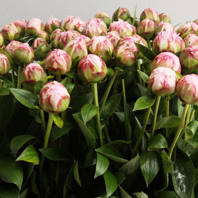 Sarah Bernhardt Peony For Weddings, Events and DIY Brides. Wedding Florist in Fairfield, NJ