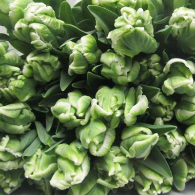Super Parrot Tulips for Weddings, Events and DIY Brides. Wedding Florist in Fairfield, NJ