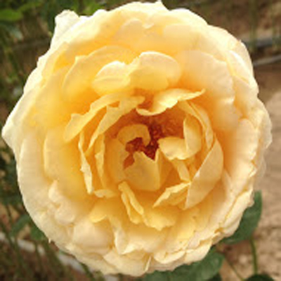 Caramel Piaget Garden Roses for Weddings, Events and DIY Brides, Wedding Florist in Fairfield, NJ