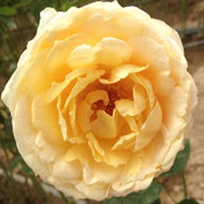 Caramel Piaget Garden Roses for Weddings, Events and DIY Brides, Wedding Florist in Fairfield, NJ