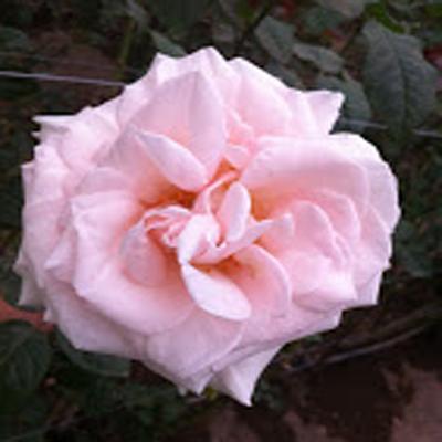 Prince Jardinier Garden Roses for Weddings, Events and DIY Brides. Wedding Florist in Fairfield, NJ